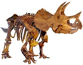 "The Triceratops (Tri-Sera-tops) ""Three horn face"""